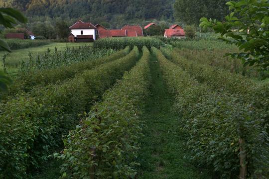 Storia cooperativa agricola insieme for Vendita piante di lamponi
